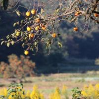 里山の柿の実<季節のたより>
