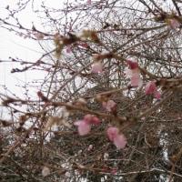 寒中に咲いてた桜と梅・・・・