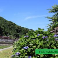 箱根湯本駅付近のロマンスカー「LSE」 とアジサイ (2014年6月撮影です)