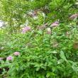 高ボッチ高原・鉢伏山で最近咲いている花 シモツケ(下野)