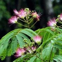 美しいネムノキの花