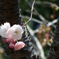 本誓寺菊桜