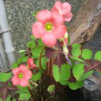 庭に咲いたクローバーの花