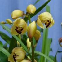 黄色系のシンビジュウムの花が開きました!