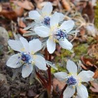 早春の花セツブンソウに出会う
