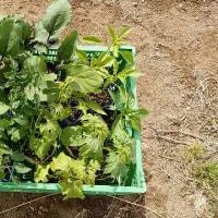 本日の菜園作業