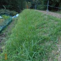 伸びてきた雑草 穂ができ始めました。刈りこみばさみでカット