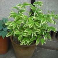 緑の色が魅力 ナルコユリとギボウシ