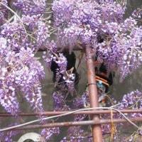 信達宿の藤まつり