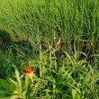 「ノカンゾウ」の花!