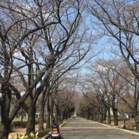 公園の桜は?