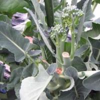 茎ブロッコリー 収穫は2芽残して