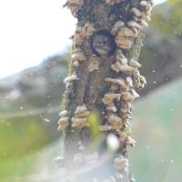 コゲラさんが巣作りしています、極楽寺山