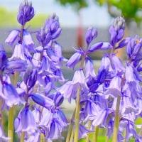 春の庭・・・シラーカンパニュラが咲いた