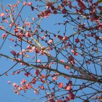 河津桜と紅梅情報