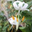 白の鹿野子百合とニオイバンマツリ、バラの様子