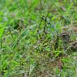 草の中に隠れたつもりのようだ、ヒバリ。