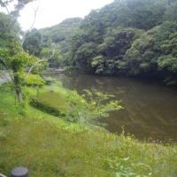 梅雨の鎌倉中央公園;ハンゲショウが見頃になり始めた