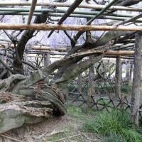 1200年前に 春日部牛島の「藤」