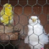 白逆毛チャボのヒヨコとパリジャンフリルカナリア