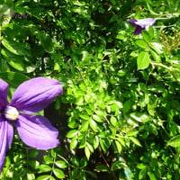 クレマチスが咲きました(^-^)