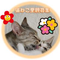 かわいい猫ちゃんの里親募集。アニマルフレンド 猫ねこ里親募集迷子情報 千葉ニュータウン(白井市、印西市周辺)他 2-2