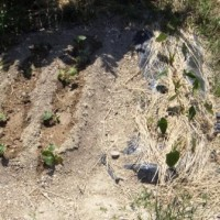 サツマイモと里芋を植えました