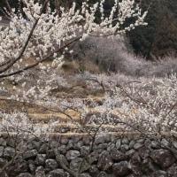 奥三河 新城川売(かおれ)梅の里 ③