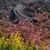 松田山の河津桜
