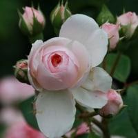 春咲き薔薇
