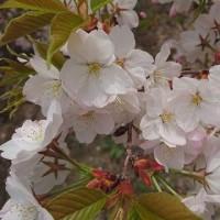 桜の散りぎわも美しい