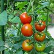 わが家のミニトマト♪