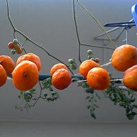 5日目の干し柿