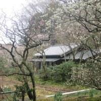 東慶寺の梅 花盛り