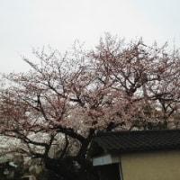 福岡で桜が満開
