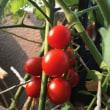 トマトとセロリと生ハムのスパゲッティー( または瀬戸内海の風そよぐレモン風味のスパゲッティー)
