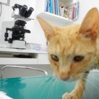 猫のみいやちゃん再入院