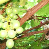花いちごですくすくと葡萄が育っています★ 食べごろはいつかなあ~♡