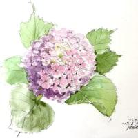 紫陽花 (ヨシコ)