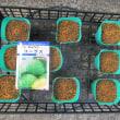 キャベツの種を蒔きました。