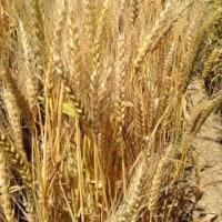 今日の小麦