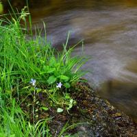 渓流「急流に耐えて咲く」久多川