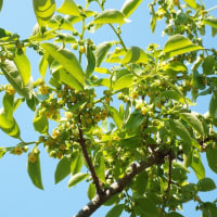 柿の花が木の新芽全体に咲きました。