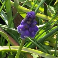 ムスカリ一番花