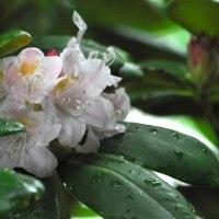 庭で咲くヤマシャクナゲ