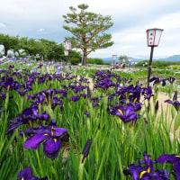 瓢湖、あやめ祭とあやめハンカチ 2017