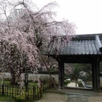 松平東照宮の桜