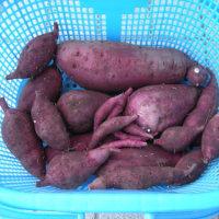 サツマイモの収穫しました。