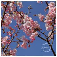 河津桜 8