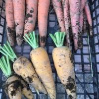 根菜類始まり